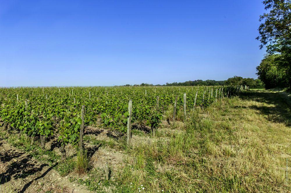 Domaine Guiberteau :Les vignes en Agriculture biologique